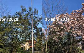 Magnolia in Ede verschil in ontwikkeling tussen half april 2020 en half april 2021