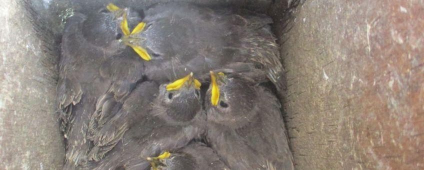 Deze jonge spreeuwen vliegen de komende dagen uit