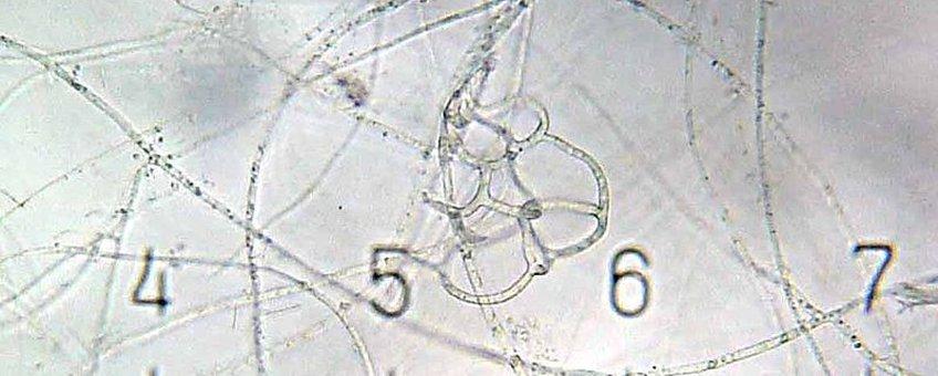 Arthrobotrys nematode trapping fungus