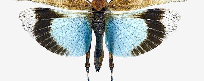 Blauwvleugelsprinkhaan, Creative Commons-licentie Naamsvermelding-Gelijk delen 3.0 Unported
