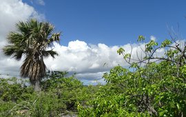 Endemic Sabal palm, growing in a shrubland on limestone with Metopium brownii and Haematoxylon brasiletto