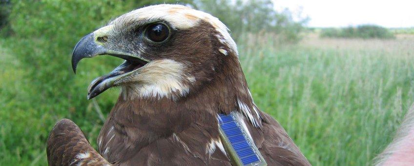 Deze adulte vrouw Bruine Kiekendief is zojuist uitgerust met een satellietzender zodat we haar de rest van haar leven kunnen volgen. Deze vogel verdween uiteindelijk onder verdachte omstandigheden in een Frans 'jachtreservaat'.