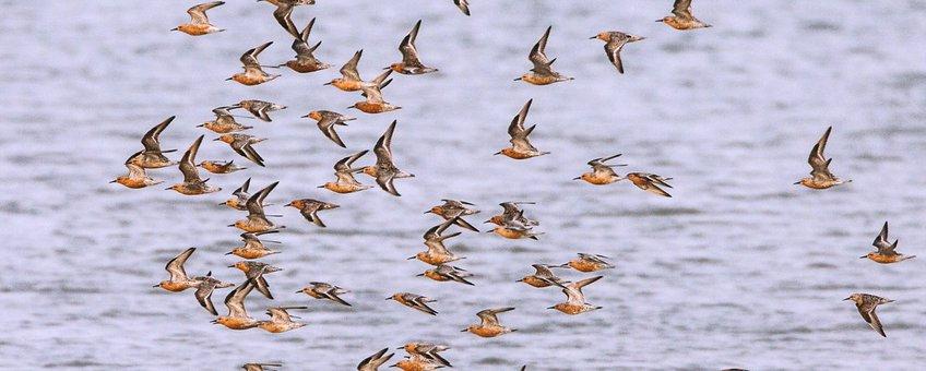 Een vlucht kanoeten in de Nederlandse Waddenzee