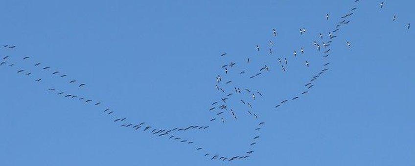 Kraanvogels profiteerden van de combinatie van warm, rustig weer en de gunstige wind.