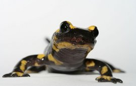 Vuursalamander (Salamandra salamandra)