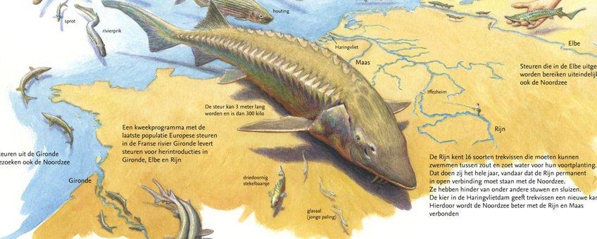 De steur: boegbeeld van trekvissen