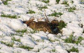 Haas in sneeuw