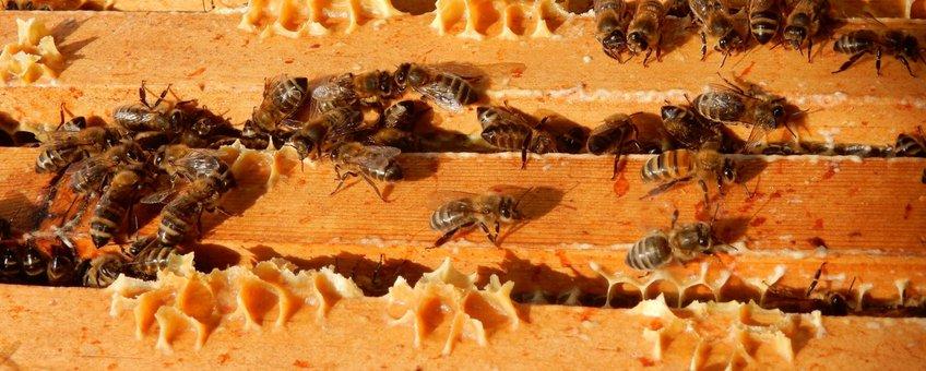 honingbijen - primair