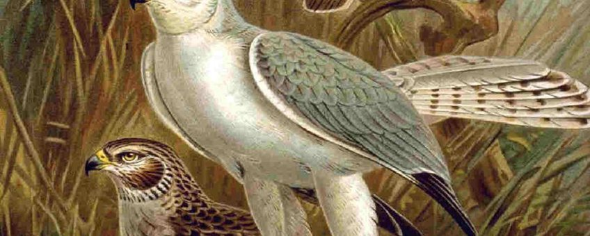 Circus macrourus. Bron:  Naumann, Naturgeschichte der Vögel Mitteleuropas (Natural history of the birds of central Europe) of 1905 or his earlier works