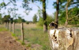 gele hommelroofvlieg kijkt uit over insectentuin - eenmalig gebruik