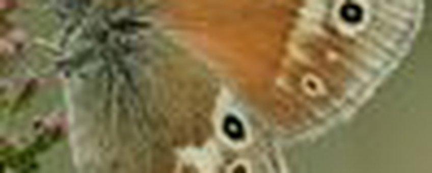 veenhooibeestje klein