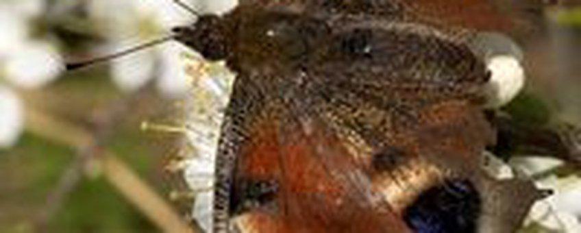 dagpauwoog sleedoorn