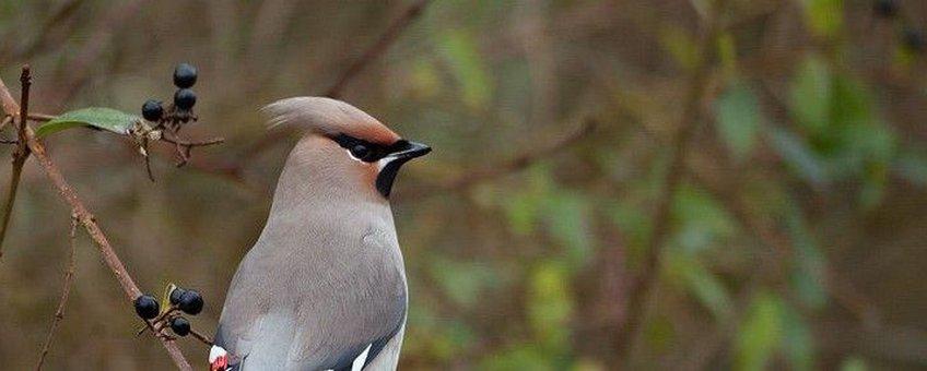 Pestvogel op liguster