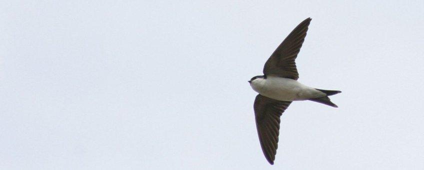Huiszwaluw Foto: Arjan Boele