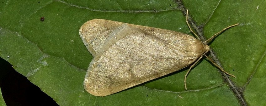 Alsophila aceraria. Najaarsboomspanner
