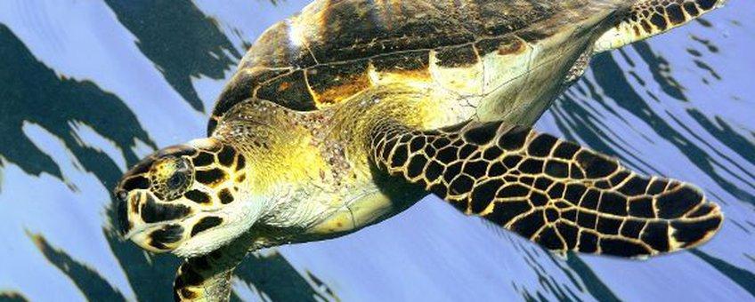 Eenmalig gebruik Hawksbill turtle, karetschildpad (Eretmochelys imbricata)