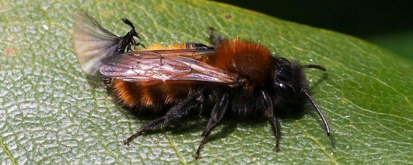 Man Stylops nevinsoni op achterlijf vosje Andrena fulva