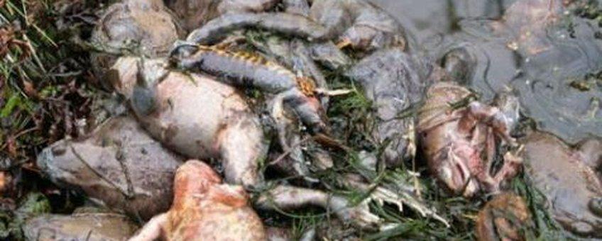 verdronken kikkers
