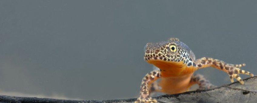 alpenwatersalamanders