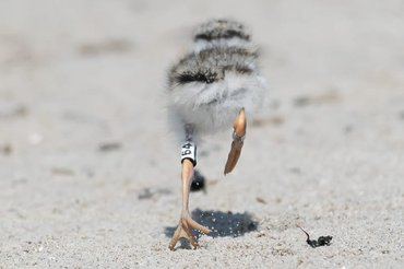 Een jonge bontbekplevier rent na het ringen de vrijheid weer in. Sternplaat, Eemshaven