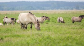 Wild Konik horses in the Oder Delta, spreading between the border of Poland and Germany
