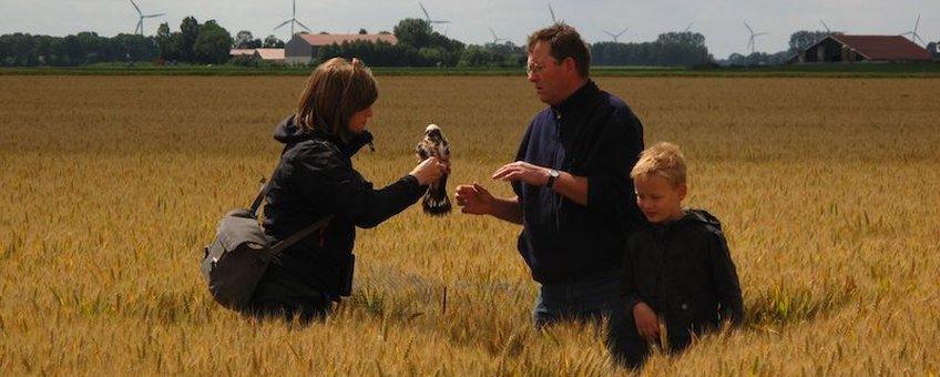 Ringen van een jonge grauwe kiekendief in een tarweakker in Flevoland