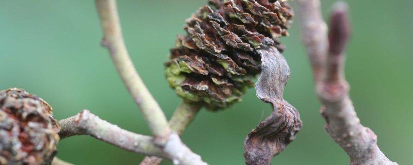 De elzenvlag is een tongvormige vergroeiing uit een elzenpropje, veroorzaakt door een schimmel.