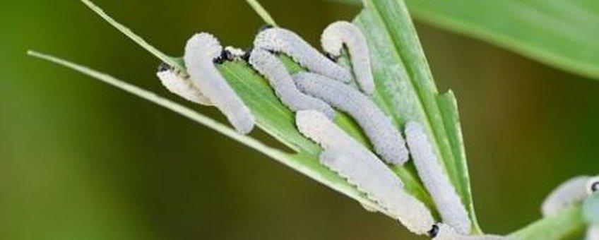 Phymatocera aterrima Foto (C): H.J. Blackstein