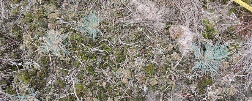 Het opnemen van een vegetatie met buntgras en korstmossen