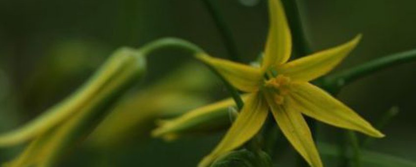 Spitse geelster Foto Wout van der Slikke