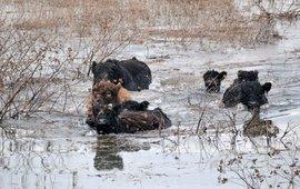 Galloways waden door het wassende water