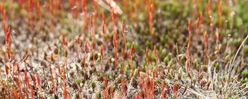 Ruig haarmos met rode sporenkapsels