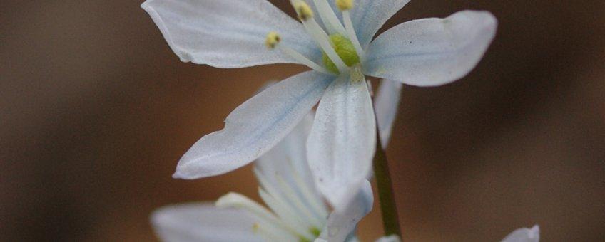 Witte sterhyacint of streephyacint