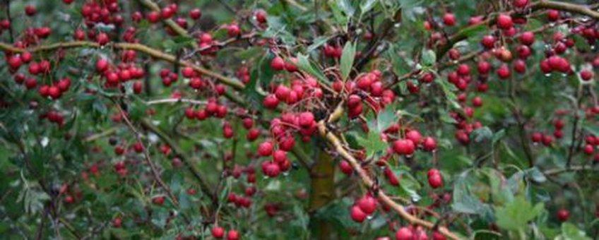 Meidoorn vruchtenrijping