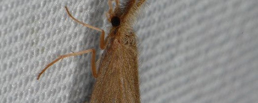 Kokerjuffer Lepidostoma basale