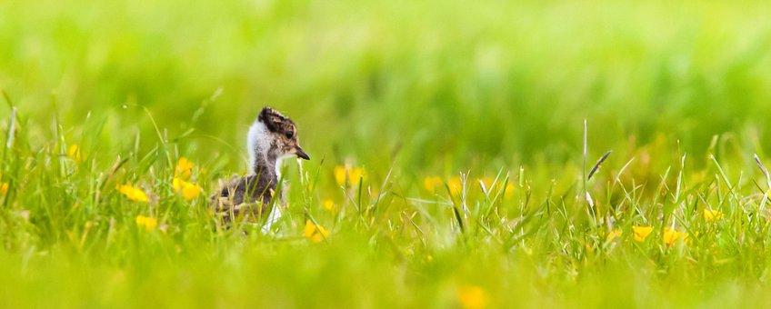Pul van een kievit jaagt op insecten in het open gras - alleen gebruiken voor OBN