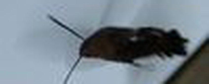 kolibrievlinder klein