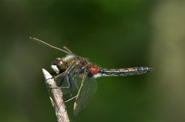 Leucorrhinia rubicunda. Noordse witsnuitlibel, man