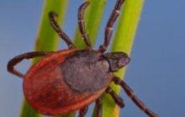 teek op stengel, creditline: Hans Smid / www.bugsinthepicture.com