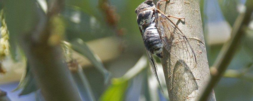 Provençaalse cicade, Bisonbaai, 2 aug 2013