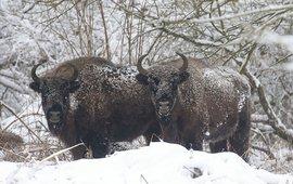 Door de goede isolatie van de vacht van deze wisenten blijft de sneeuw er gewoon bovenop liggen en smelt niet.