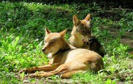 Twee jongen wolven