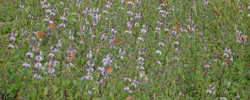 distelvlinders watermunt - primair