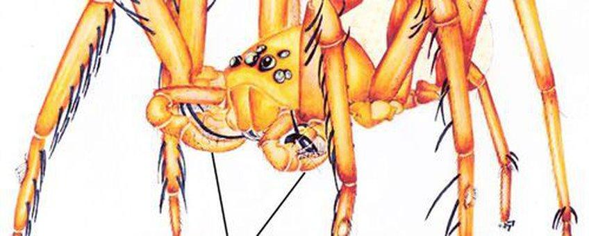 Habitus of 'algemeen uitzicht' van mannelijke gekke-ogen spin