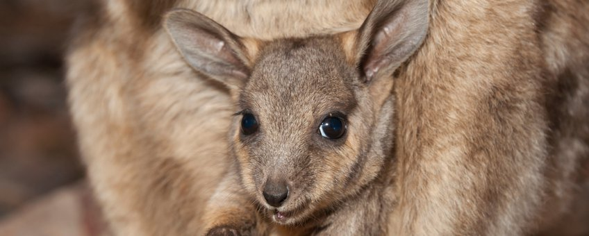 Black-footed rock-wallaby (Petrogale lateralis) baby in buidel, Heavitree Gap, Alice Springs, Northern Territory, Australia