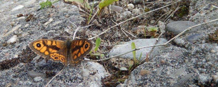 argusvlinder - primair