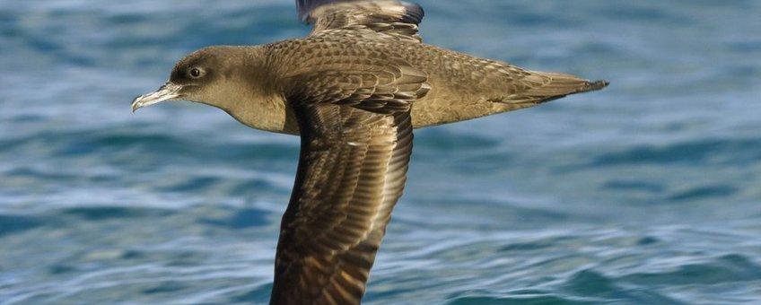 Grauwe pijlstormvogel, eenmalig gebruik, betaald door Vogelbescherming