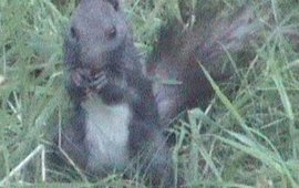 japanse eekhoorn?