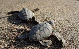 Jonge zeeschildpadjes