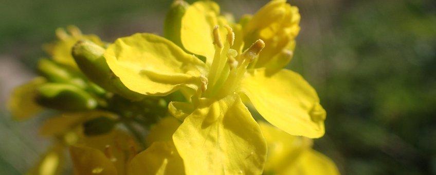 Raapzaad bloem